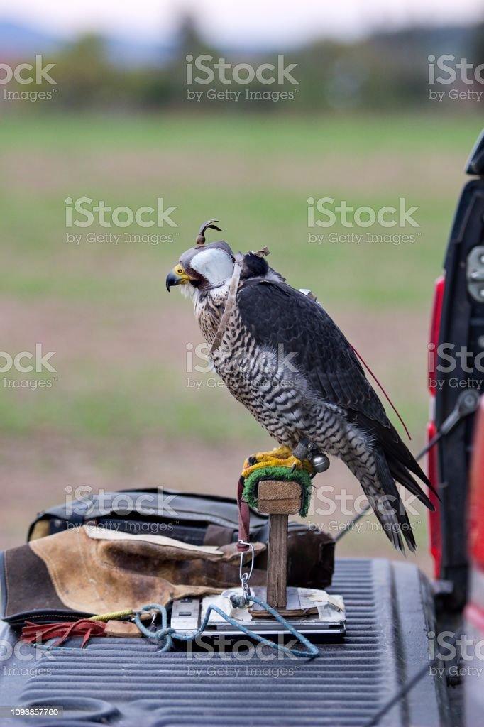 Falcon ready for hunt stock photo
