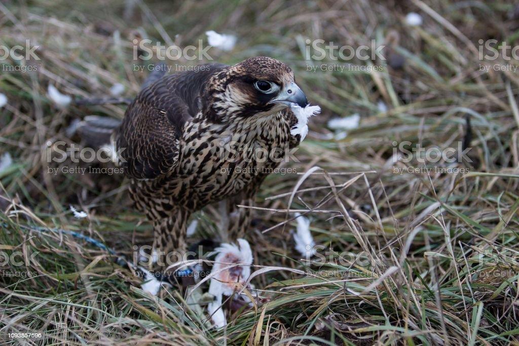 Falcon with his prey stock photo