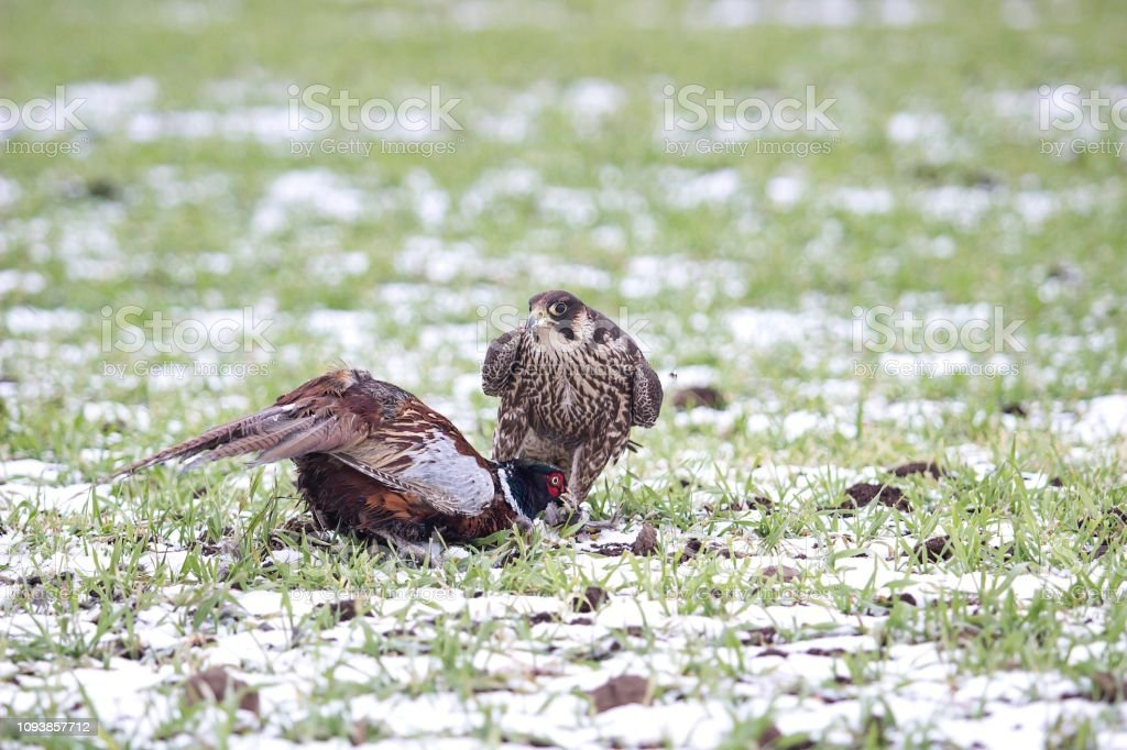 falcon with pheasant stock photo