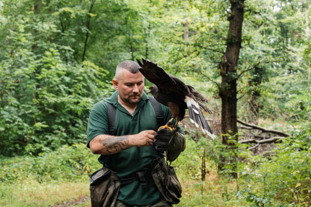 falconer holding a harris hawk - wildlife conservation stock photos and pictures