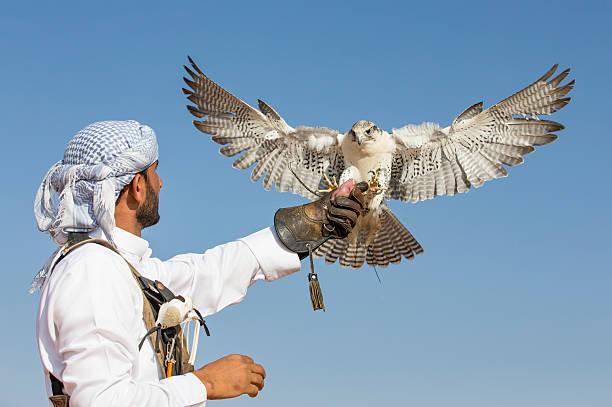 falconer is training peregrine falcon in a desert near dubai - falcon bird stock photos and pictures