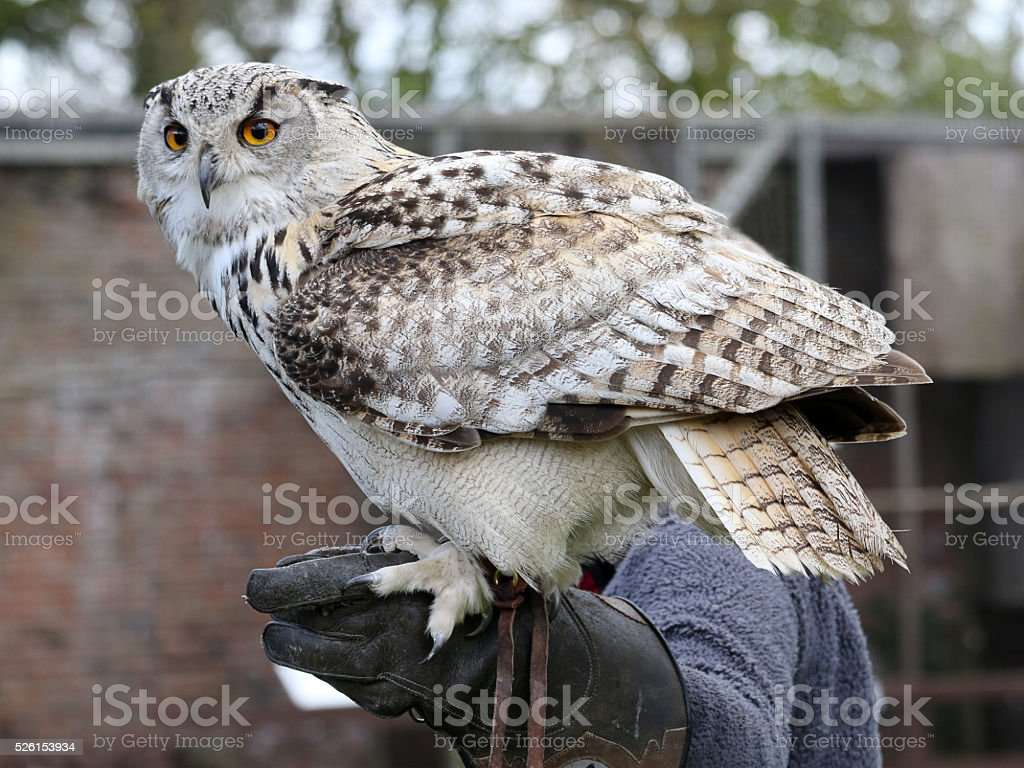Falconer with a Turkmenian Eagle Owl stock photo