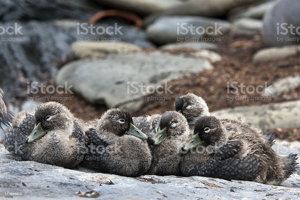 Falkland Steamer Ducklings royalty-free stock photo