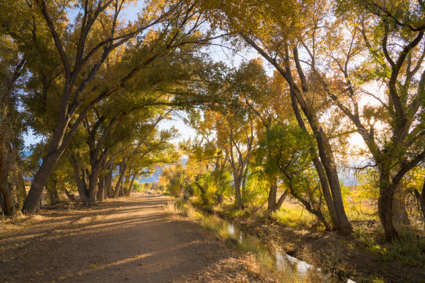 Fall along an irrigation ditch with cottonwood trees Cottonwood trees along an irrigation ditch near Bishop California in fall. cottonwood tree stock pictures, royalty-free photos & images