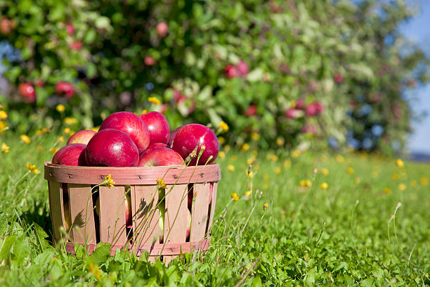 Fall Apple Harvest Autumn view from the farm's apple harvest. apple orchard stock pictures, royalty-free photos & images