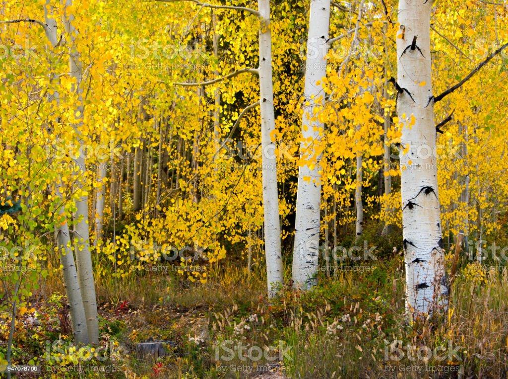 Fall Aspen Forest stock photo