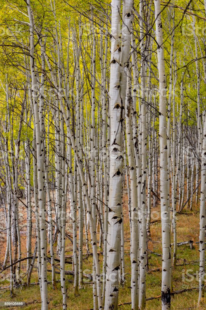 Fall Aspen forest with wet bark from rain stock photo