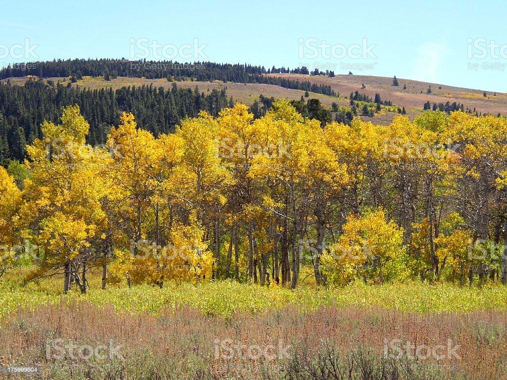 Fall Aspens #3 royalty-free stock photo