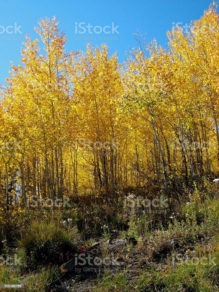 Fall Aspens stock photo