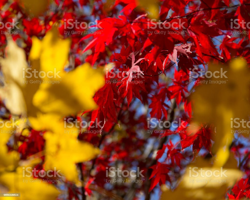 A Fall Backdrop of Red and Gold leaves on a Sunny Day in the Park - Royalty-free Abstrato Foto de stock