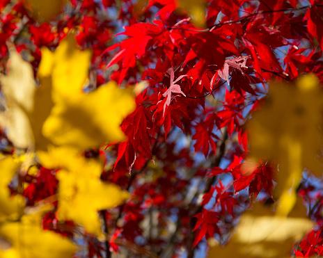 Ein Herbst Hintergrund Von Rot Und Gold Blätter An Einem Sonnigen Tag Im Park Stockfoto und mehr Bilder von Abstrakt