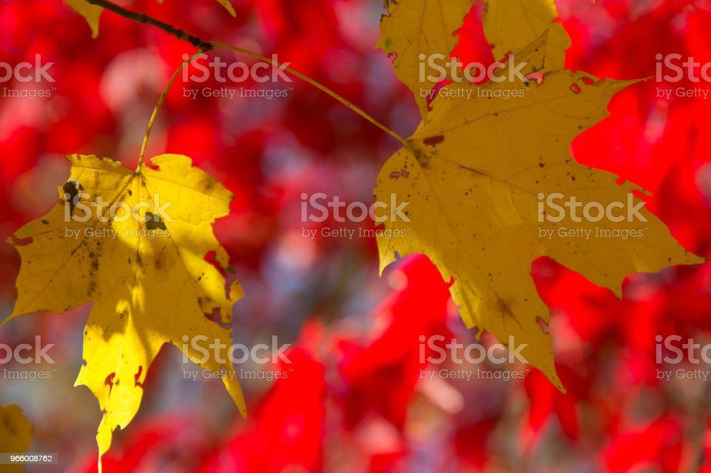 En höst bakgrund av rött och guld lämnar en solig dag i parken - Royaltyfri Abstrakt Bildbanksbilder