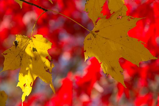 En Höst Bakgrund Av Rött Och Guld Lämnar En Solig Dag I Parken-foton och fler bilder på Abstrakt