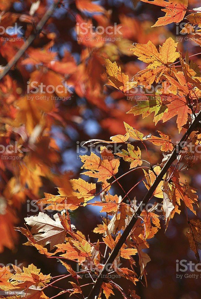 Fall Beauty royalty-free stock photo