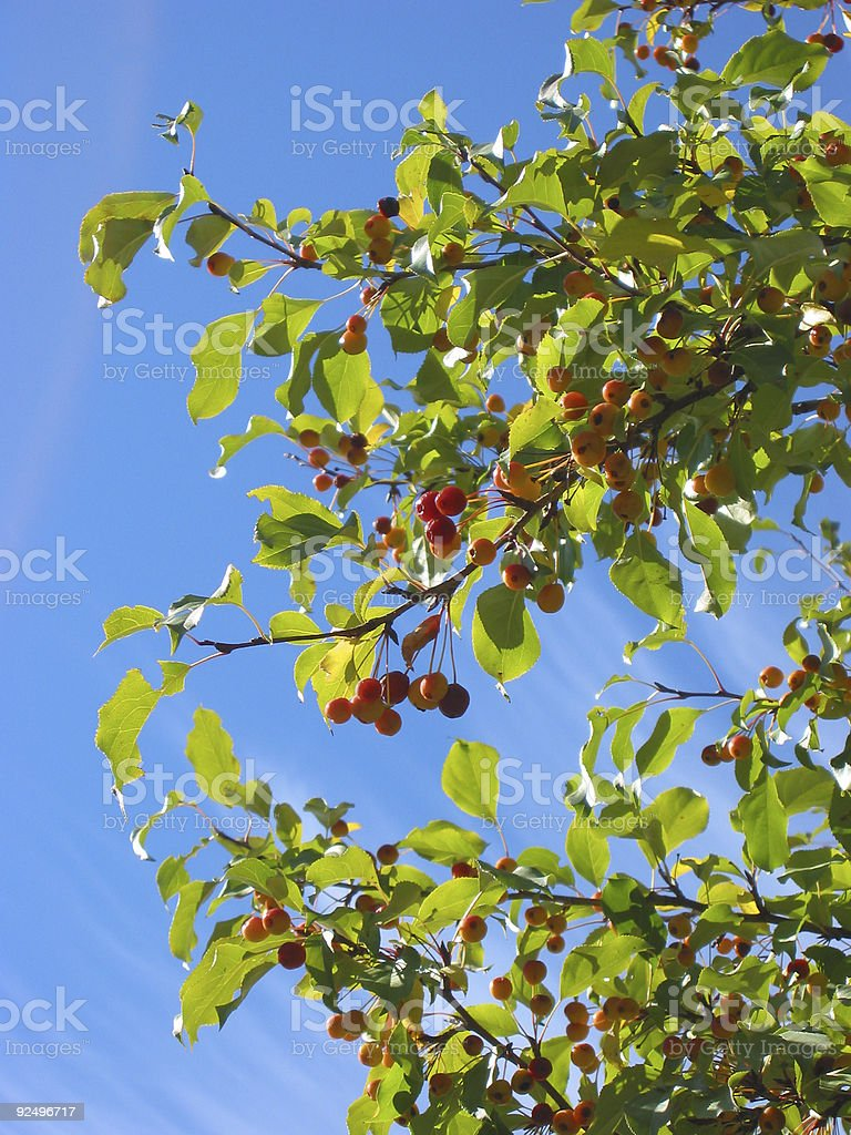 fall berries royalty-free stock photo