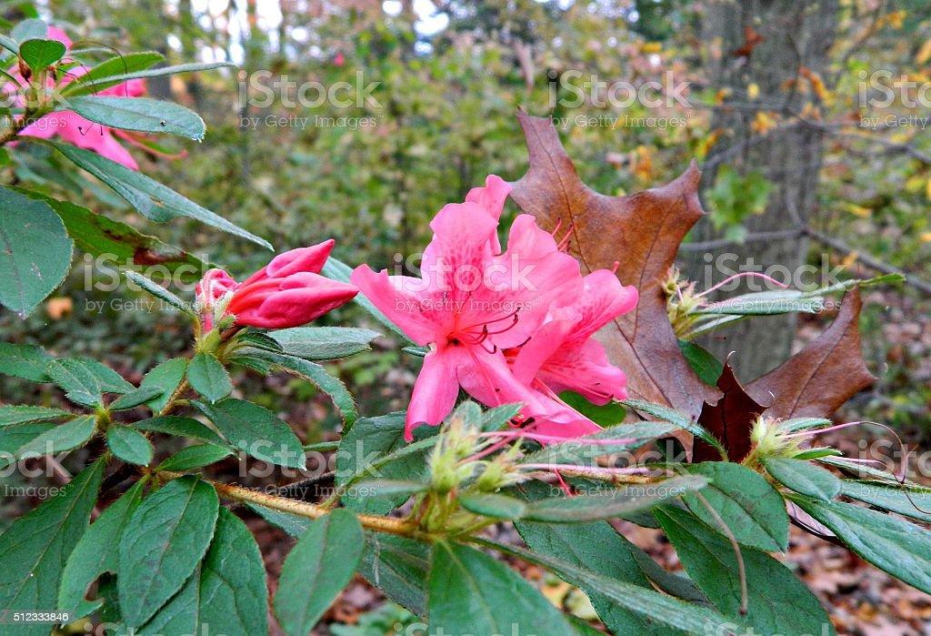 Fall Blooming Azaleas stock photo