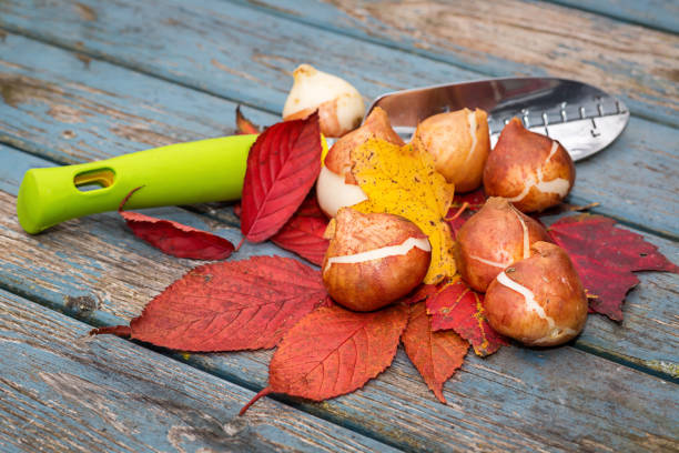 Fall Bulbs Fall bulbs and leaves placed alongside a garden trowel. plant bulb stock pictures, royalty-free photos & images