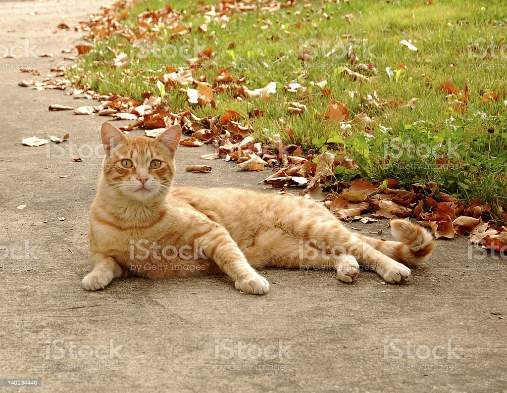 Fall Cat royalty-free stock photo