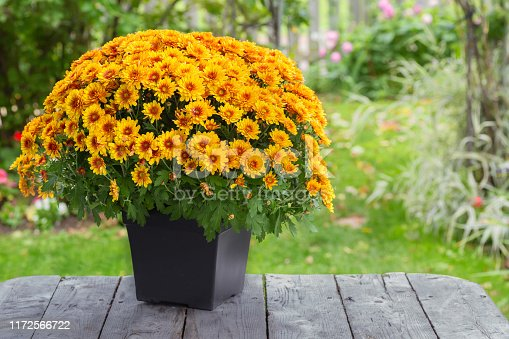 A fall potted chrysanthemum in a back yard garden.