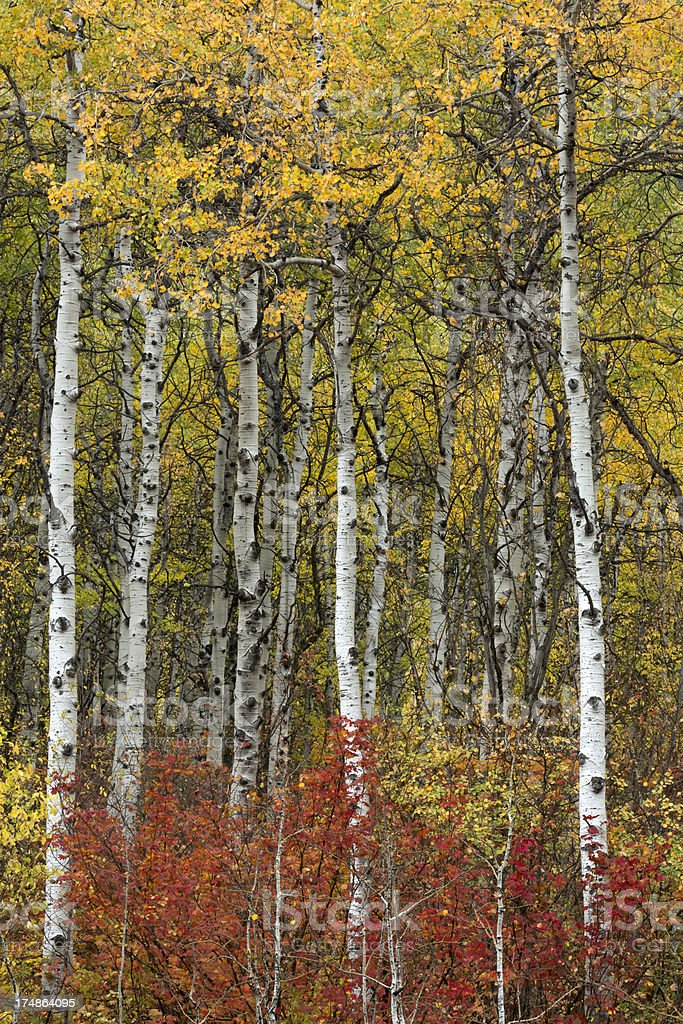 Fall Color Forest stock photo