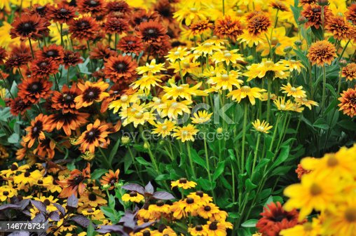 fall color, rudbeckia flowers in autumn garden