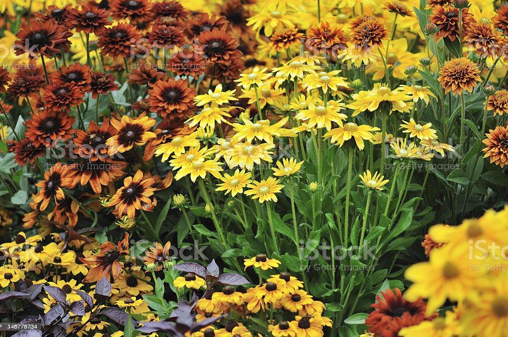 fall color, rudbeckia flowers stock photo