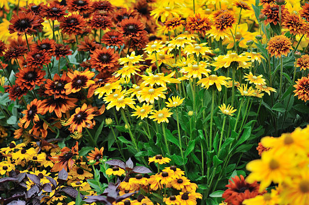 fall color, rudbeckia flowers fall color, rudbeckia flowers in autumn garden perennial stock pictures, royalty-free photos & images