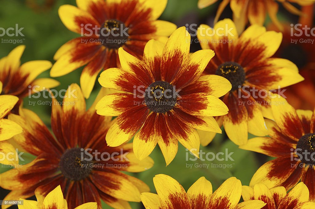 Fall Color With Rudbeckia Flowers Stock Photo Download Image Now Istock