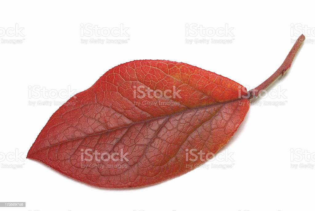 fall color--blueberry leaf royalty-free stock photo