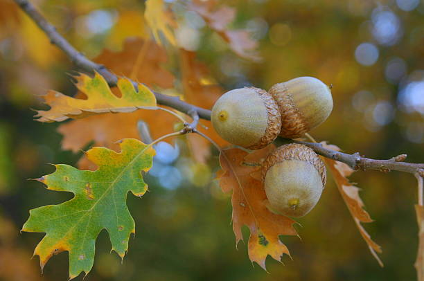 Fall Colors Acorns stock photo