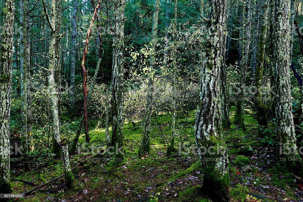 Fall colors amongst mossy evergreens photo libre de droits