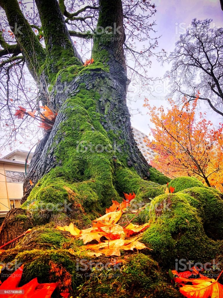 Fall Colors And Strong Roots Stock Photo & More Pictures of Autumn ...