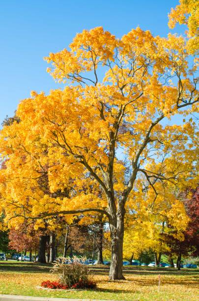 Fall Colors are vivid on a tree in a park stock photo