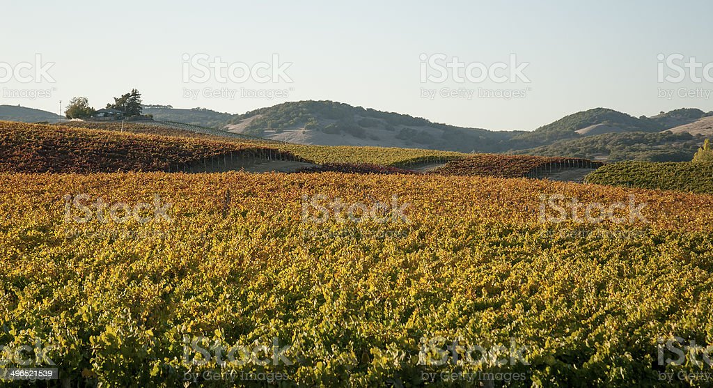 Fall COlors in Napa Valley Vineyard stock photo