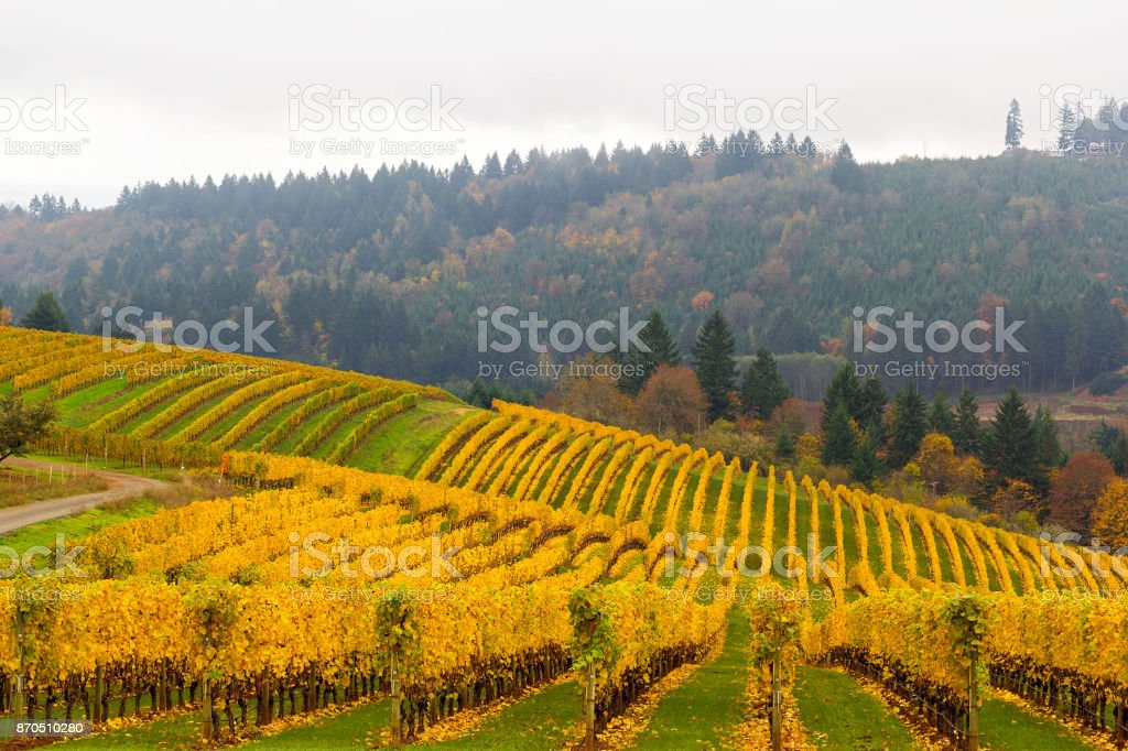 Fall colors on rolling hills of grapevines at vineyards in Dundee OR USA in autumn stock photo