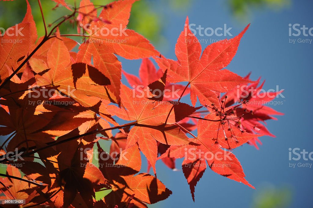 Fall colors Red leaves of fall. Autumn Stock Photo