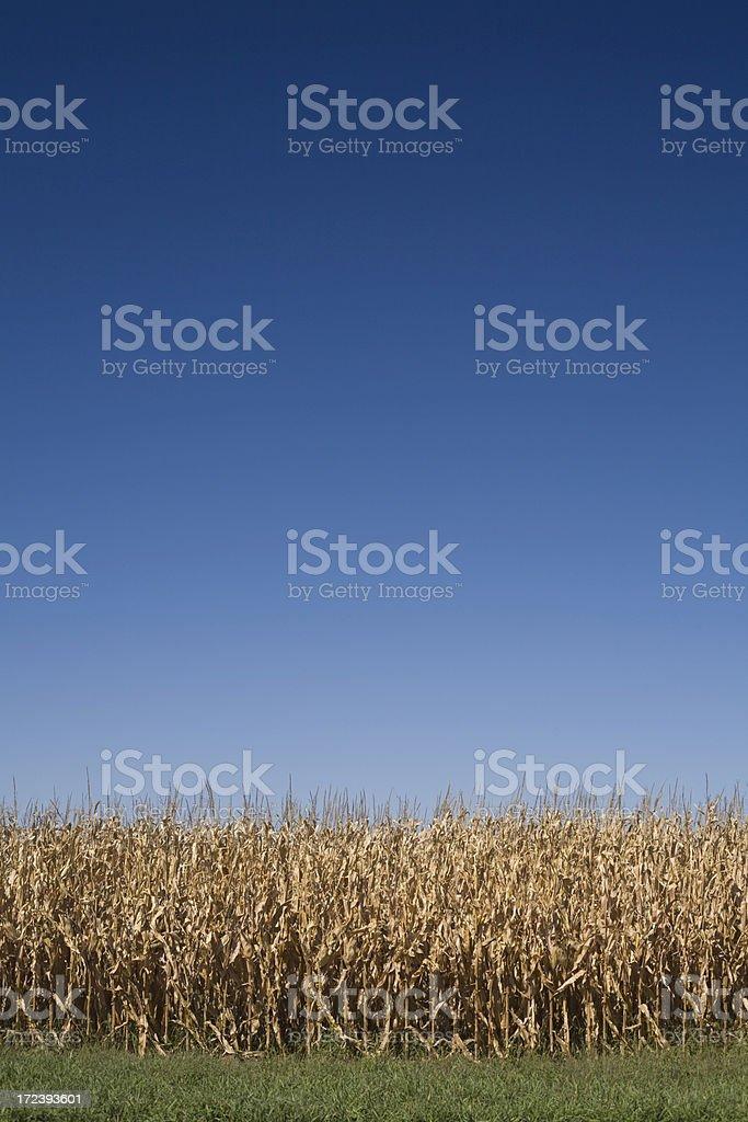 fall corn royalty-free stock photo