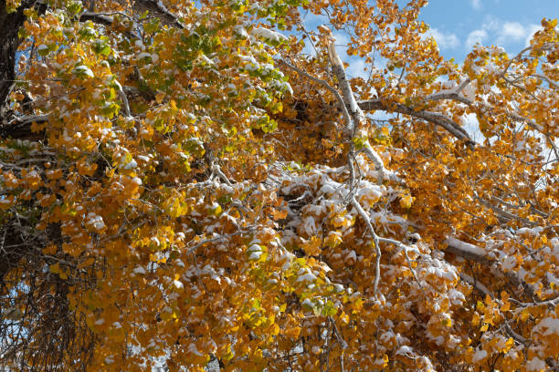 Fall cottonwoods with snow stock photo