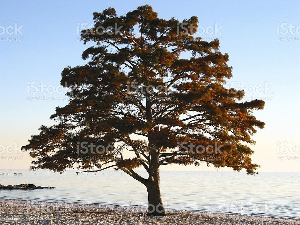Fall Cypress royalty-free stock photo