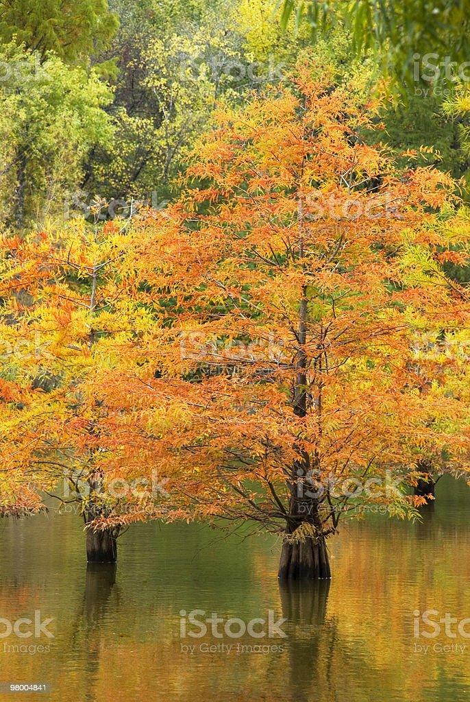 Fall Cypress Trees with Water Reflection royalty-free stock photo