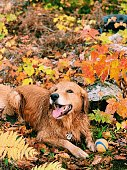 Golden retriever playing ball in an fall setup