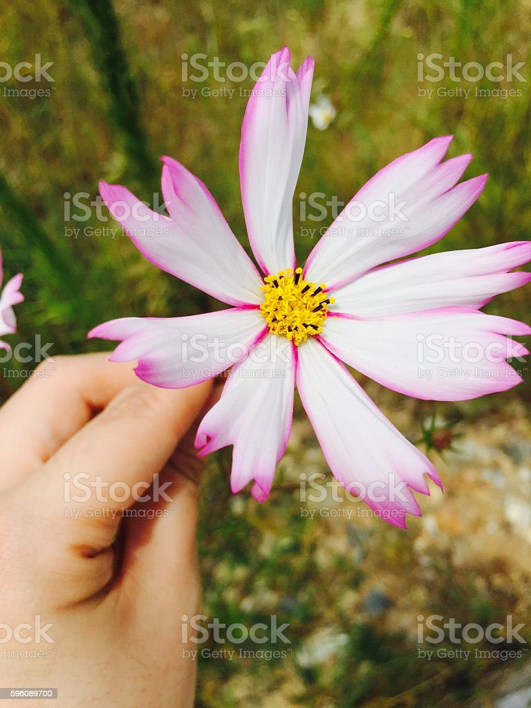 fall flower - cosmos royalty-free stock photo