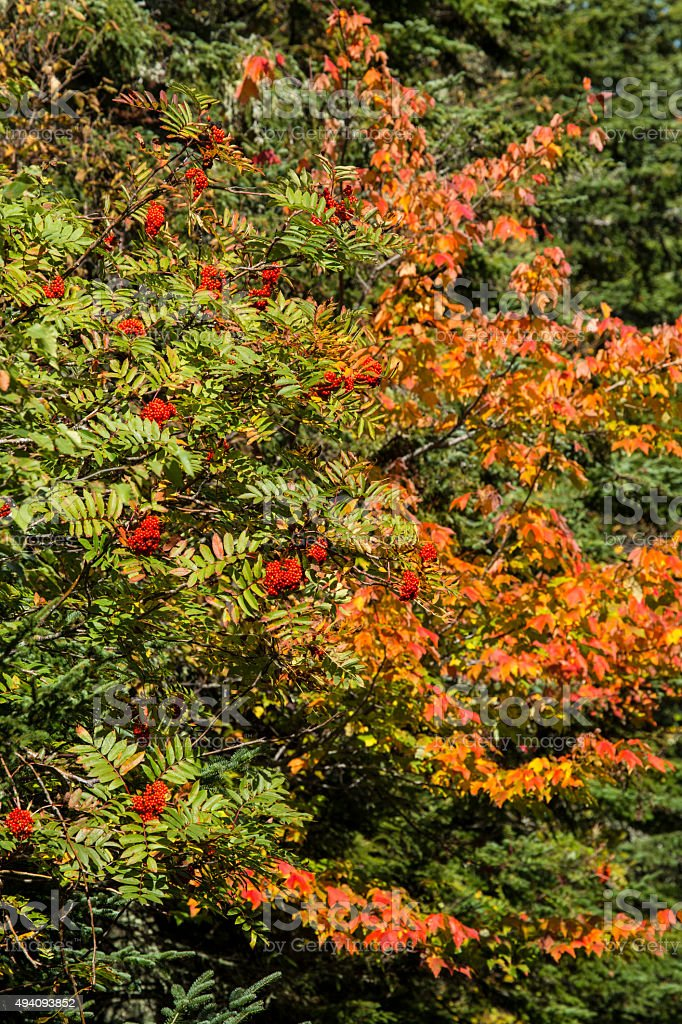 Fall foliage and red mountain ash berries in northern Maine. stock photo