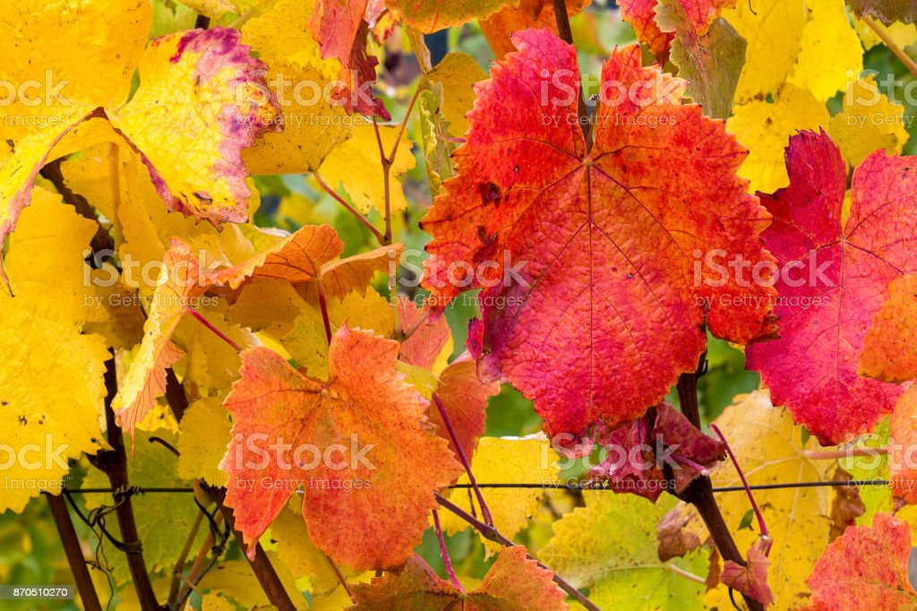 Fall foliage colors of grapevine in vineyard during autumn closeup stock photo