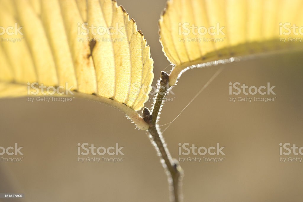 Fall Foliage, Elm stock photo