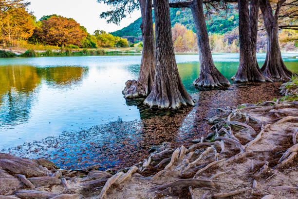 fall gebladerte aan de kristalheldere frio-rivier in texas. - bald cypress tree stockfoto's en -beelden