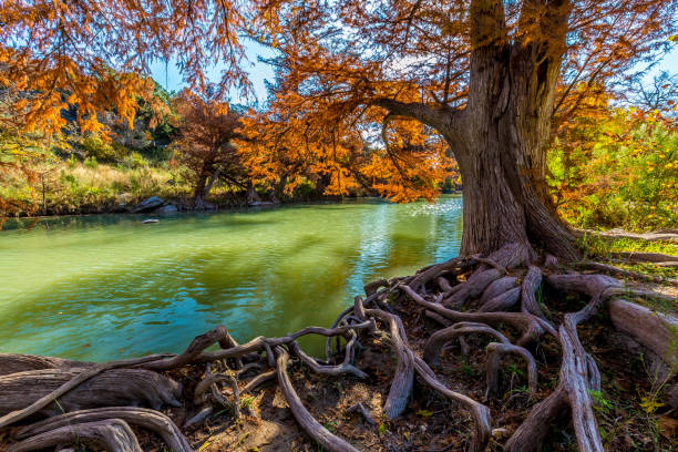 Fall Foliage on the Guadalupe River at Guadalupe State Park, Texas Bright Orange Fall Foliage and Entangled Cypress Roots on the Guadalupe River at Guadalupe State Park, Texas riverbank stock pictures, royalty-free photos & images
