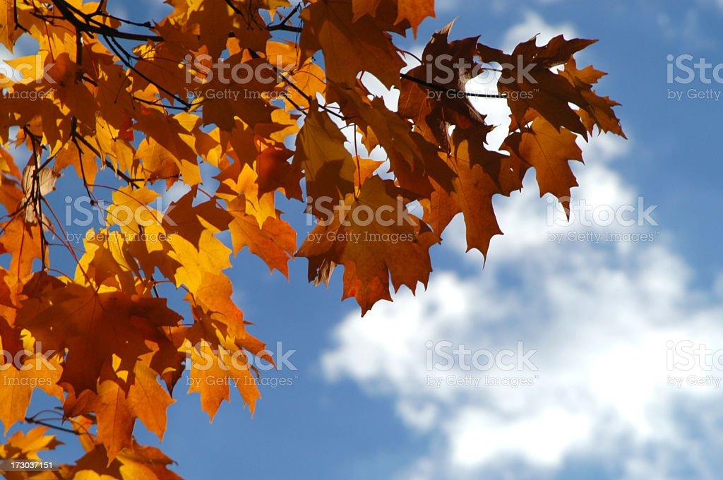 Fall Foliage Orange Maple Leaves Blue Autumn Sky White Cloud royalty-free stock photo