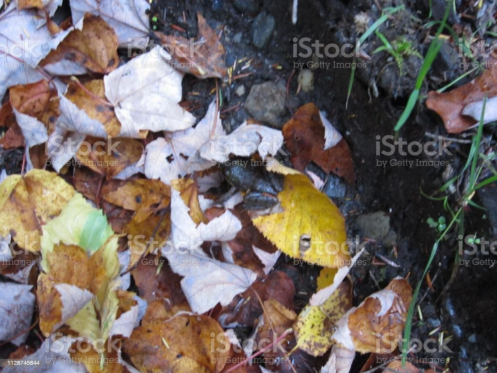 Fall Foliage with Frog stock photo