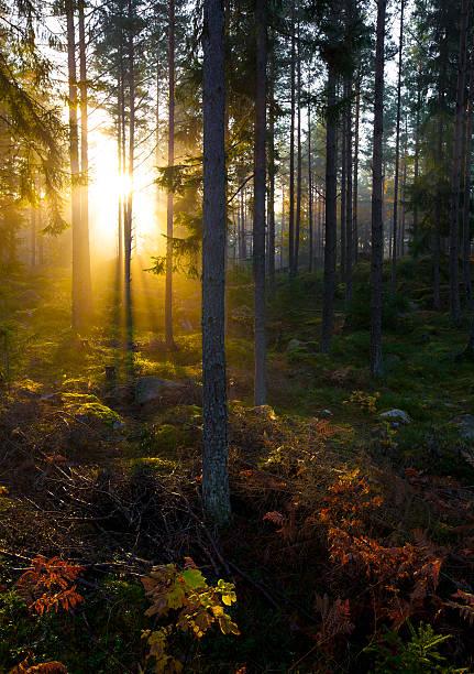fall forest - pine forest sweden bildbanksfoton och bilder